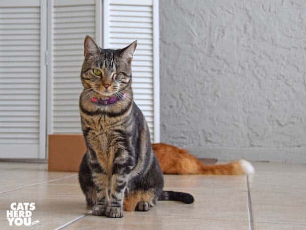one-eyed brown tabby cat sits in front of orange tabby cat