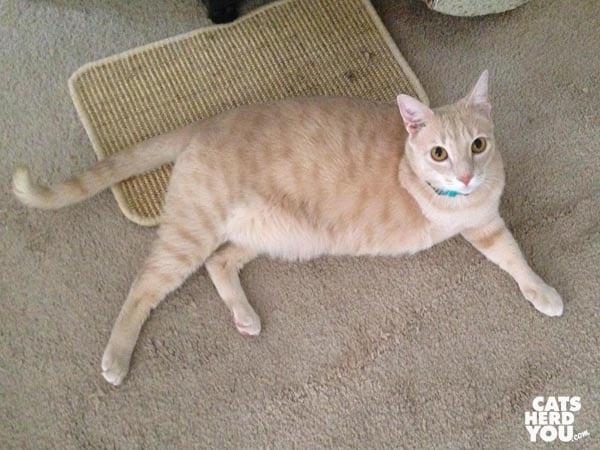 three-legged, buff-colored catprawls on the floor