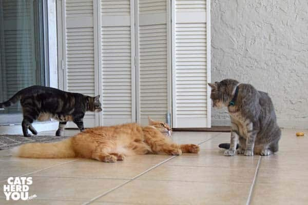 orange tabby cat and gray tabby cat face off as one-eyed brown tabby cat walks in