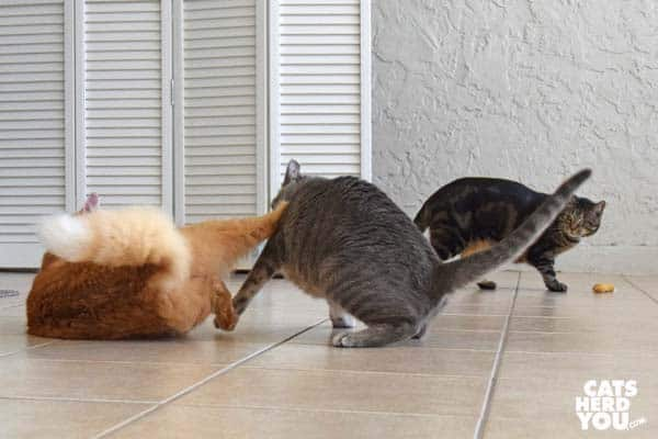 orange tabby cat kicks gray tabby cat
