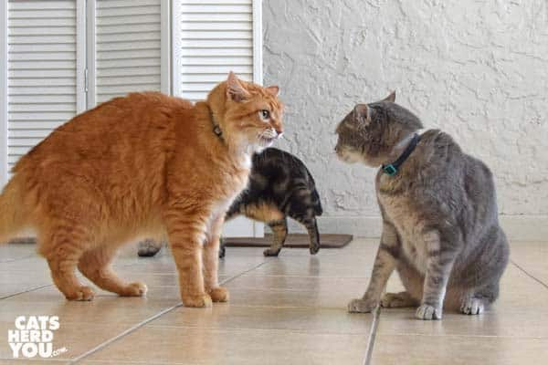 orange tabby cat and gray tabby cat face off with one-eyed brown tabby cat in background
