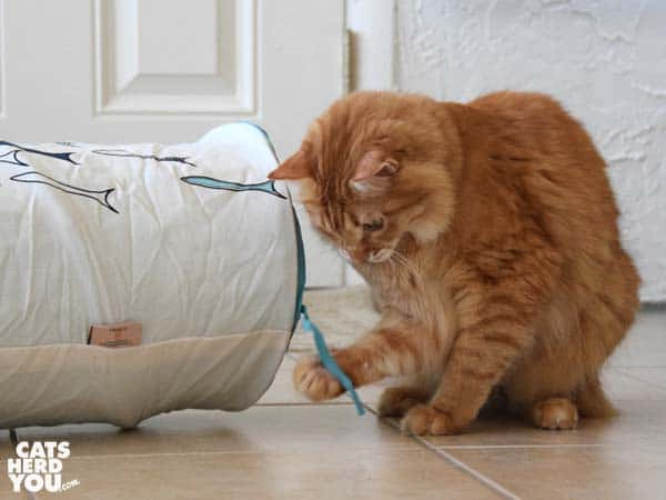orange tabby cat plays with string on fish tunnel