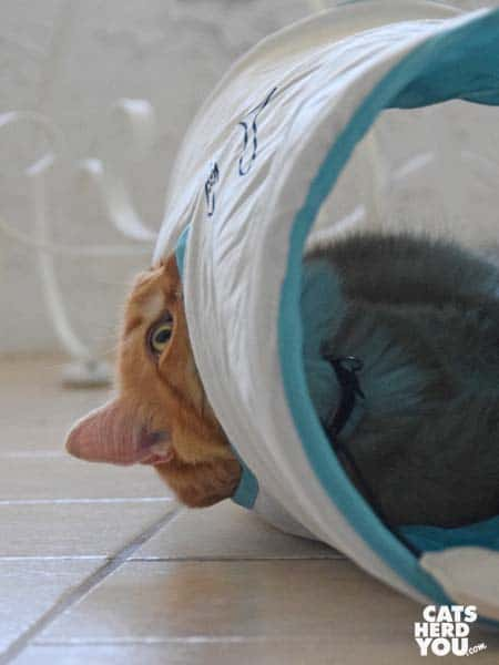 orange tabby cat looks out of tish tunnel