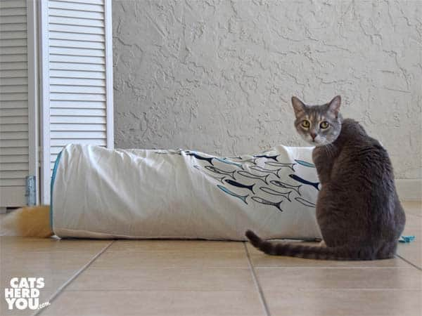gray tabby cat next to tunnel