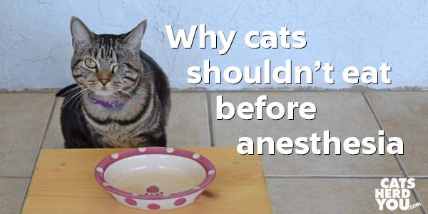 One-eyed brown tabby cat - why cats shouldn't eat before anesthesia
