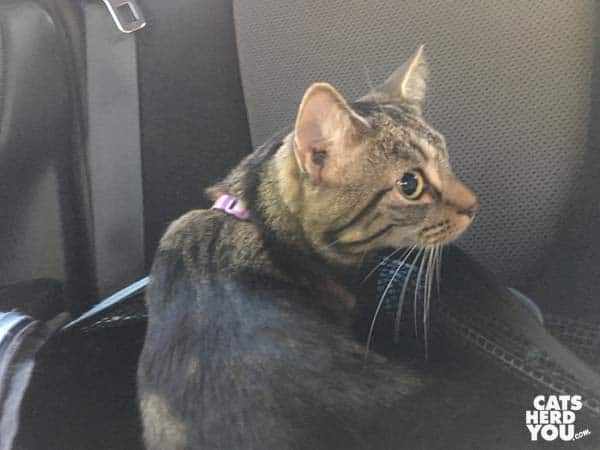 one-eyed brown tabby cat sits up from open Sleepypod cat carrier in back of car