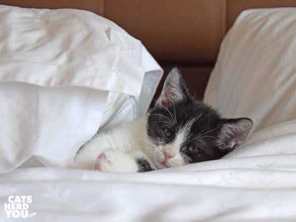 black and white kitten sleeps between pillows
