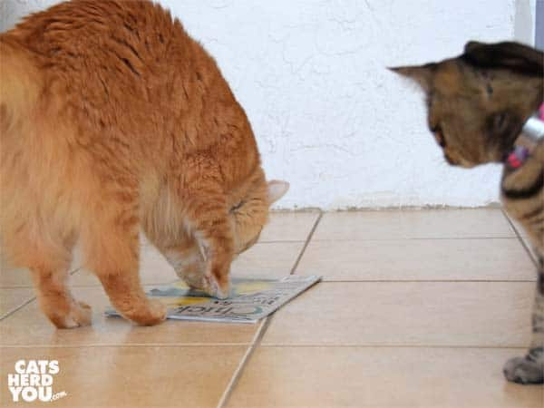 orange tabby cat paws chicken magazine while brown tabby cat looks on