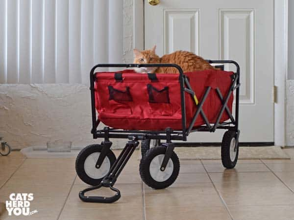 orange tabby cat in the collapsible red wagon