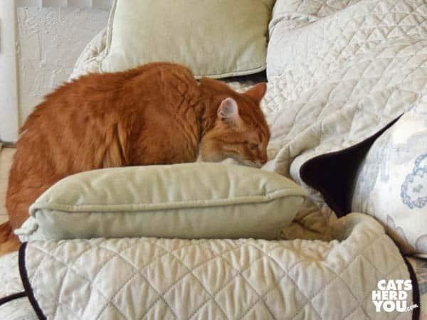 Orange mediumhair tabby cat examines lump on sofa