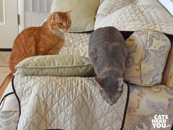 Orange mediumhair tabby cat watches gray tabby cat escape from under sofa cover