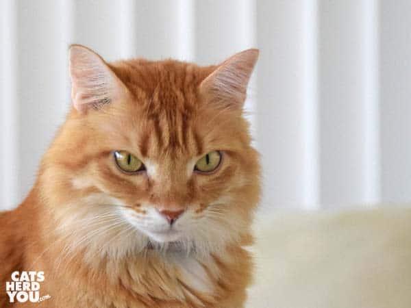Orange mediumhair tabby cat