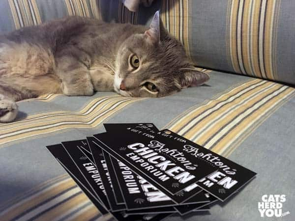 gray tabby cat looks at Gift from Ashton's Chicken Emporium Cards