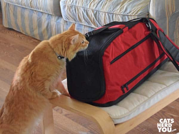 Orange tabby cat sniffs red Sleepypod Air carrier