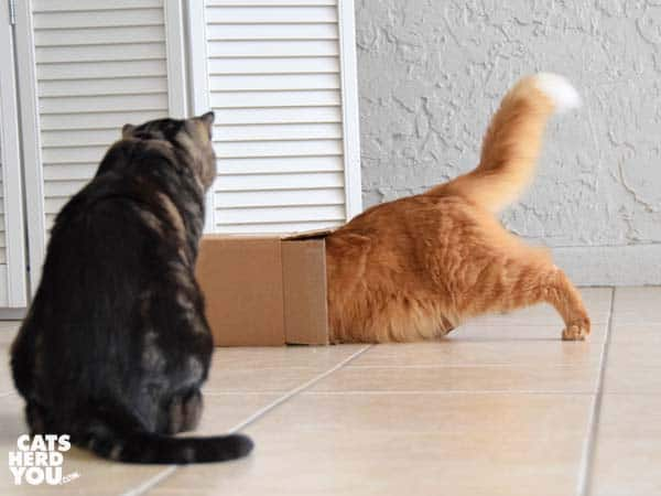 orange tabby cat pushes into box as brown tabby cat looks on