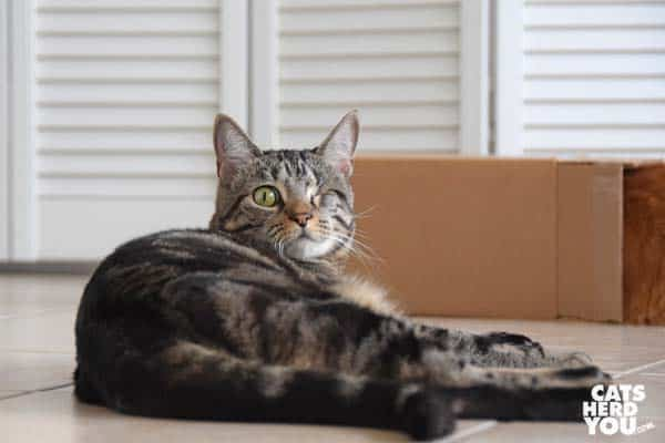 one-eyed brown tabby cat looks at camera, box in background