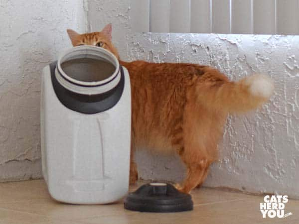 orange tabby cat looks at Vittles Vault from behind