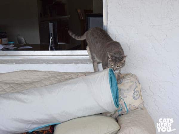 gray tabby cat notices tunnel on sofa
