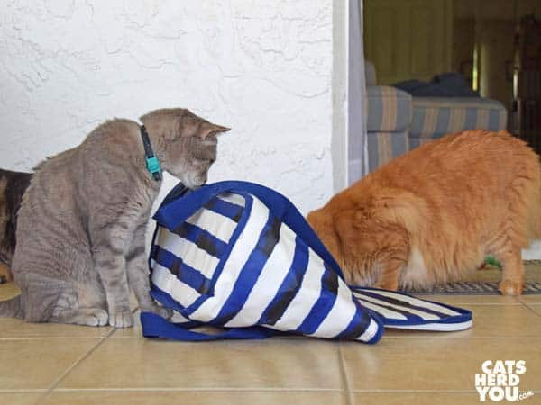 orange tabby cat plunders picnic cooler as gray tabby cat looks on