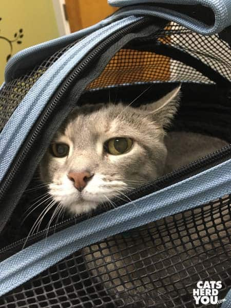 gray tabby cat looking out of cat carrier