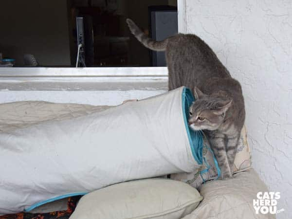 gray tabby cat sniffs tunnel on sofa