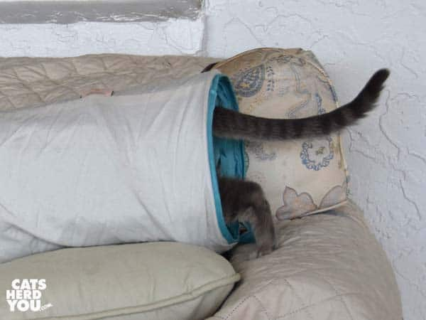 gray tabby cat enters tunnel on sofa