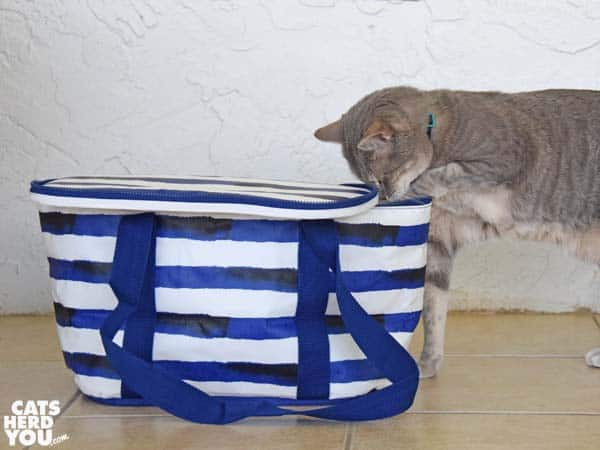 gray tabby cat paws picnic cooler