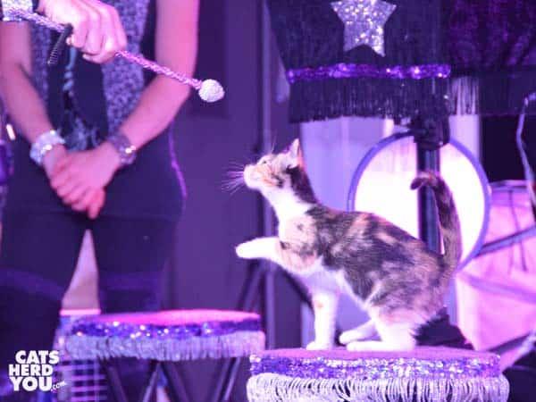 acro-cats foster kitten