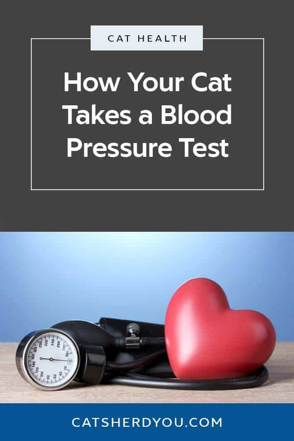 You get your blood pressure tested using a cuff on your arm, but it works a little differently for your cat. See how a cat blood pressure test works. #health #cats