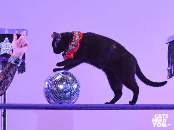 black cat pushes glitter ball during acro cats performance in orlando