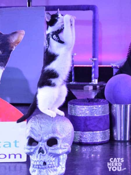 tuxedo cat stands up on skull during acro cats performance in orlando