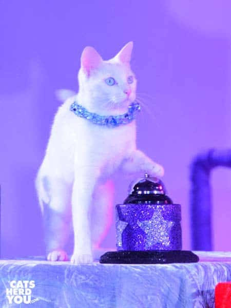 white cat rings bell during acro-cats performance in Orlando