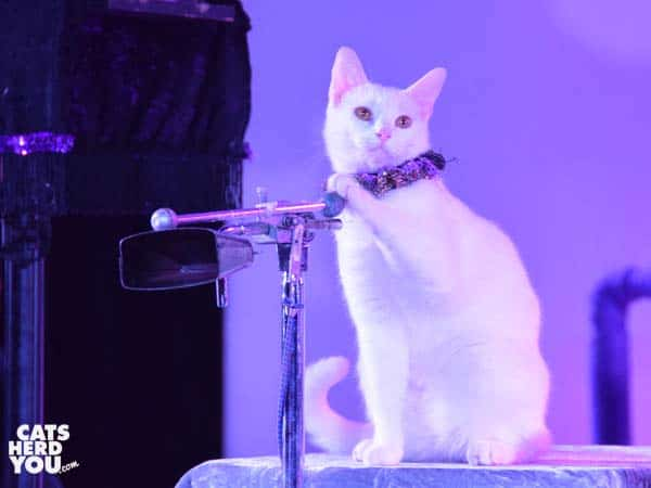 white cat rings cowbell during Acro-Cats performance in Orlando