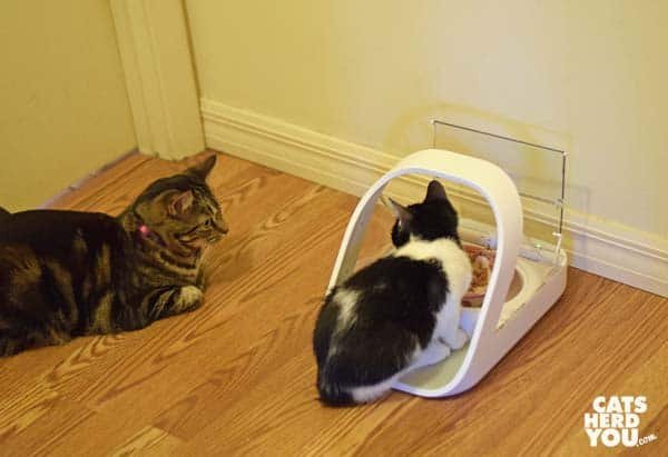 one-eyed brown tabby cat watches tuxedo kitten eat