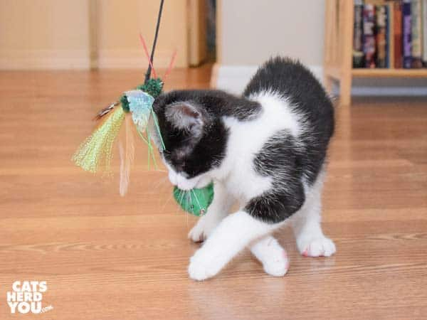 Tuxedo kitten plays with two toys at once