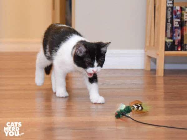 tuxedo kitten meows at feather toy