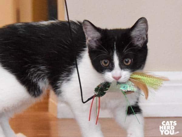 Tuxedo kitten carries feather toy