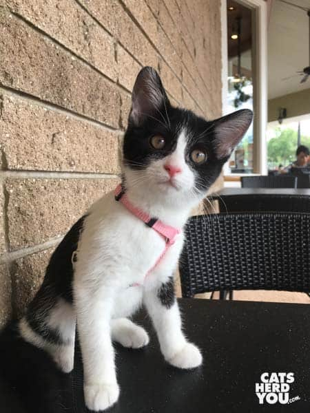 tuxedo kitten makes face at sound while sitting on cafe table