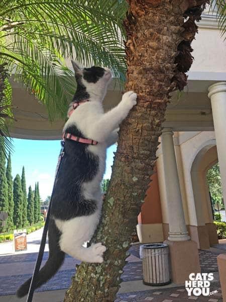 tuxedo kitten climbs tree