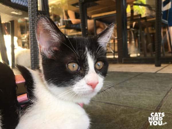 tuxedo cat on coffee shop patio
