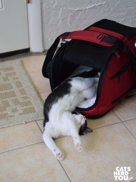 black and white tuxedo kitten lays belly-up halfway out of Sleepyod Air cat carrier