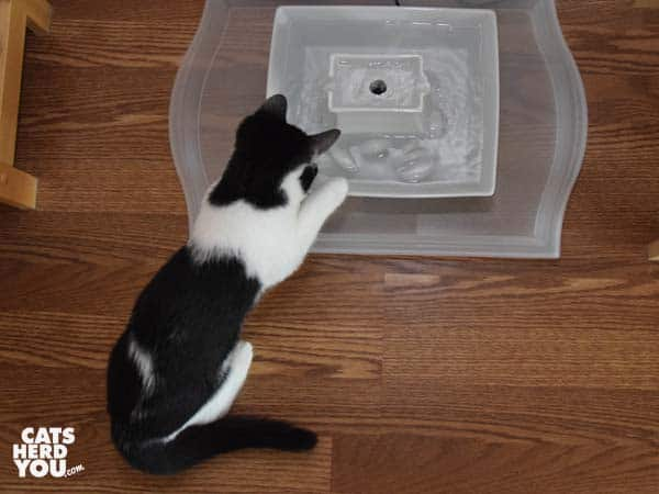 black and white tuxedo kitten paws ice in water fountain