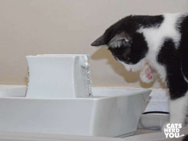 black and white tuxedo kitten lifts paw toward water fountain