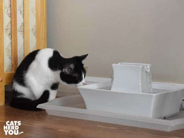 black and white tuxedo kitten looks closely at water in fountain