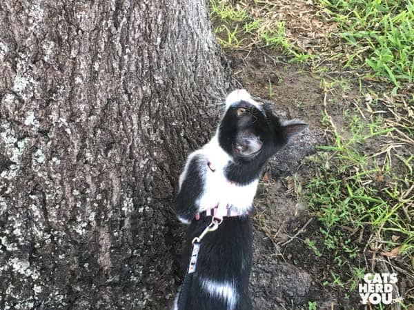 black and white tuxedo kitten looks up tree