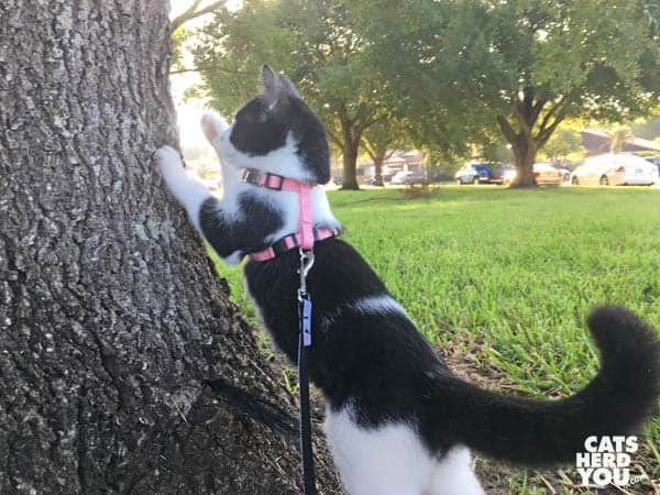 black and white tuxedo kitten swats at tree