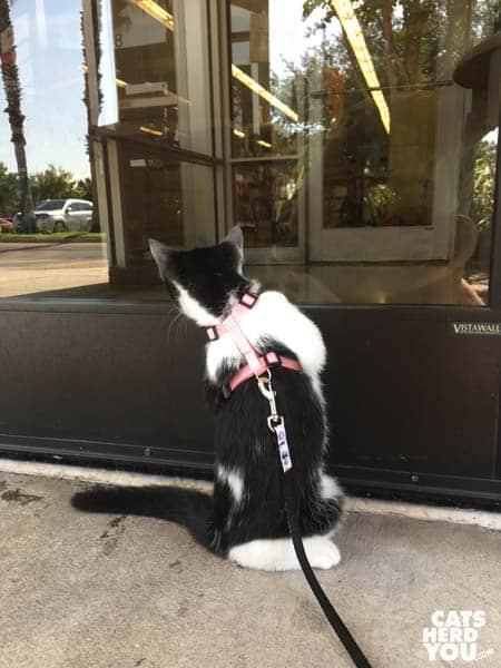 tuxedo cat looks into plate glass door