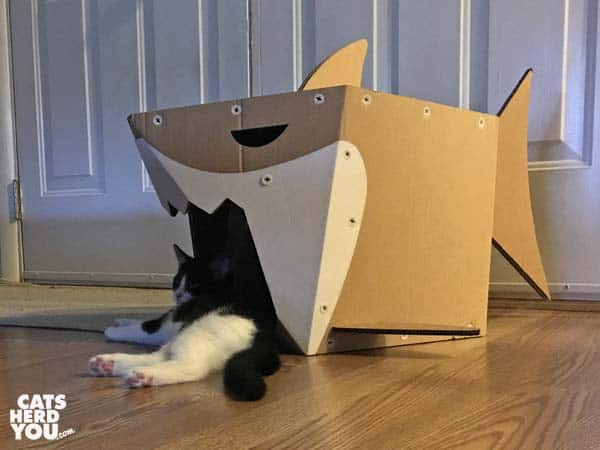 tuxedo kitten lounges in mouth of cardboard shark