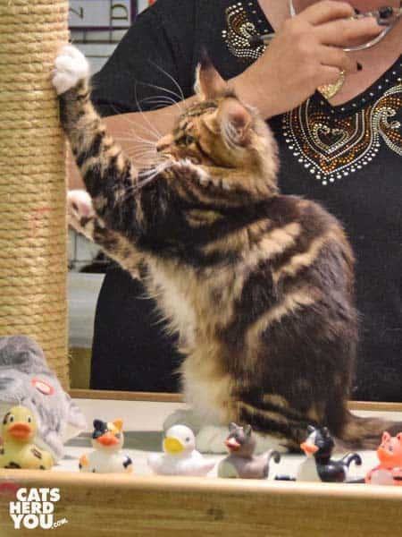 maine coon in judging ring