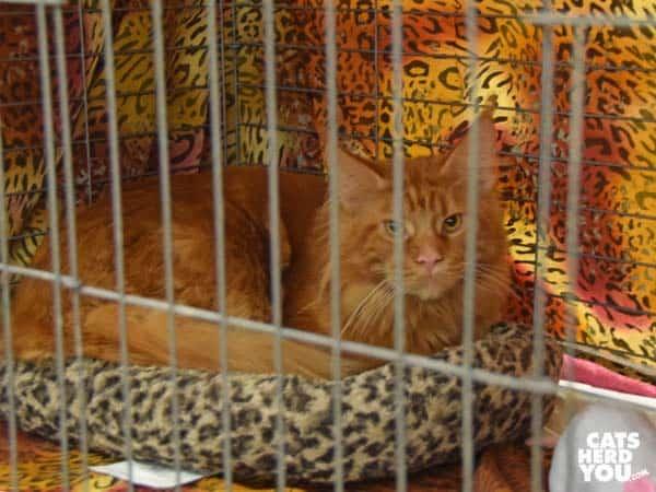 orange tabby maine coon